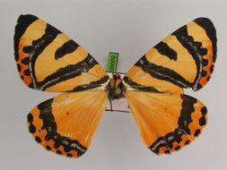 Image of <i>Callioratis abraxas grandis</i>