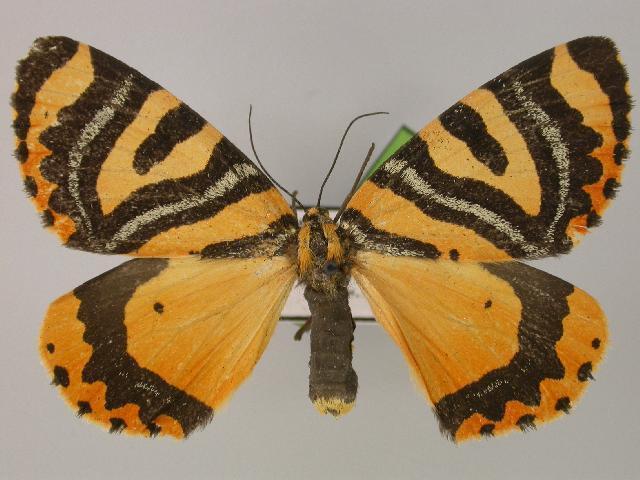 Image of <i>Callioratis abraxas</i> Felder 1868