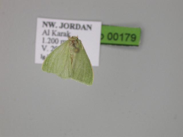 Image of <i>Hierochthonia semitaria</i>