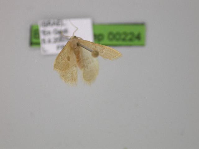Image of <i>Neromia pulvereisparsa</i> Hampson 1896