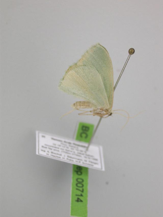 Image of <i>Prasinocyma arabica</i> Wiltshire 1982