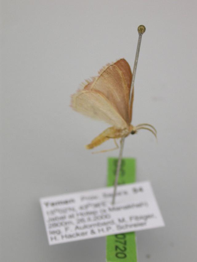 Image of <i>Omphacodes pulchrifimbria</i> Warren 1902