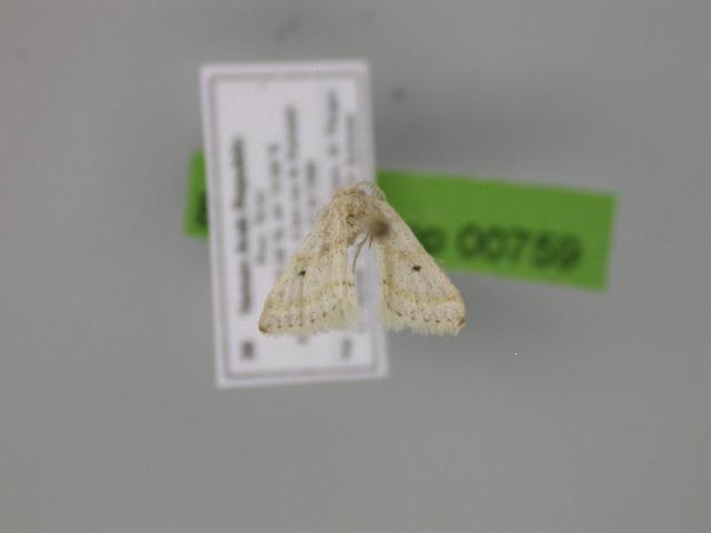 Image of <i>Acidaliastis micra</i> Hampson 1896