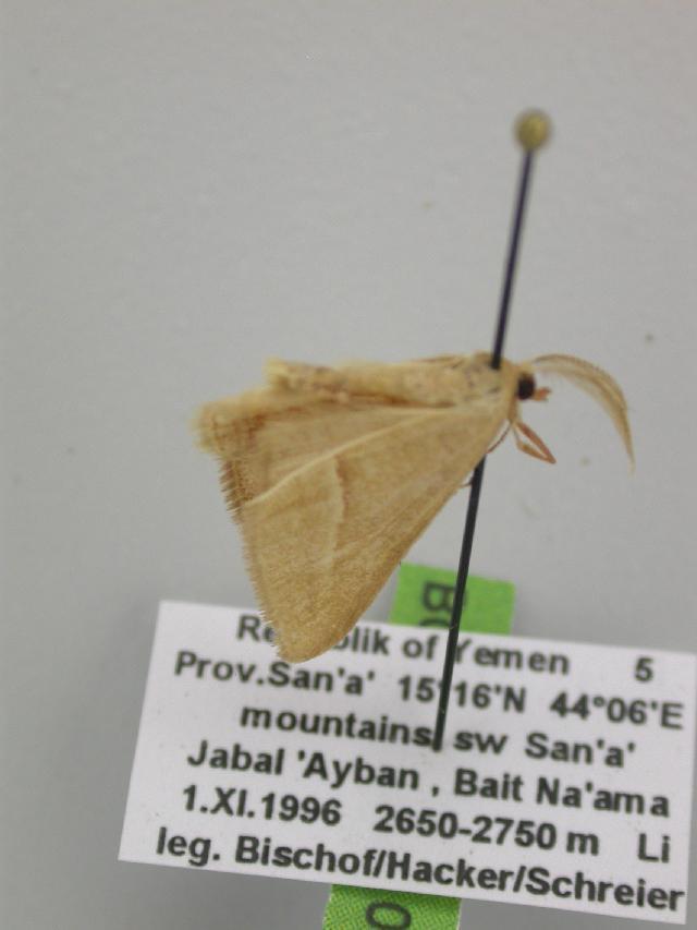 Image of <i>Chlorerythra rubriplaga sinaica</i> Wiltshire 1949