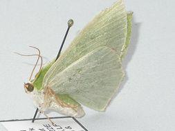 Image of <i>Chrysochloroma megaloptera</i> Lower 1894