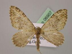 Image of <i>Euphyia frustata</i> Treitschke 1828