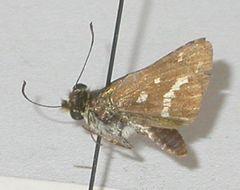 Image of Suniana