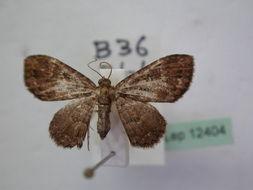 Image of Scotocyma