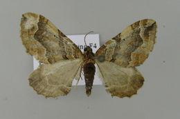 Image of <i>Pelurga comitata</i> Linnaeus 1758