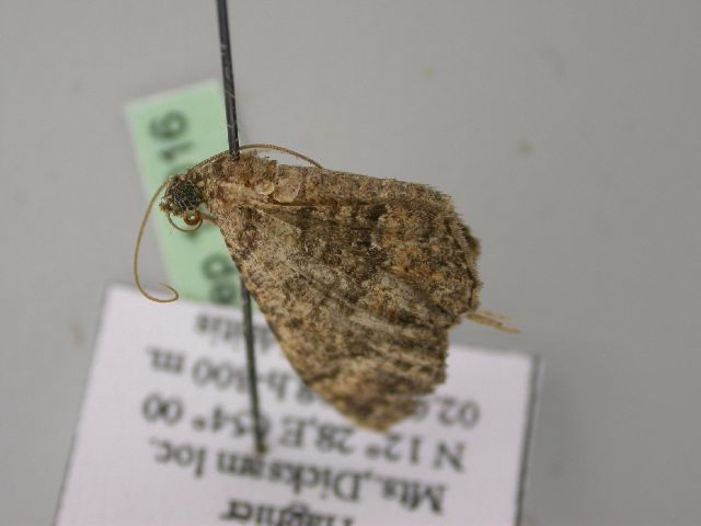 Image of <i>Disclisioprocta natalata</i> Walker 1862