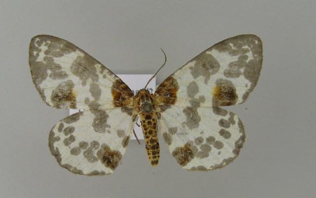 Image of <i>Abraxas latifasciata</i> Warren 1894