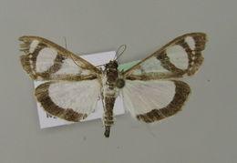 Image of <i>Glyphodes quadrimaculalis</i> Bremer & Grey 1853