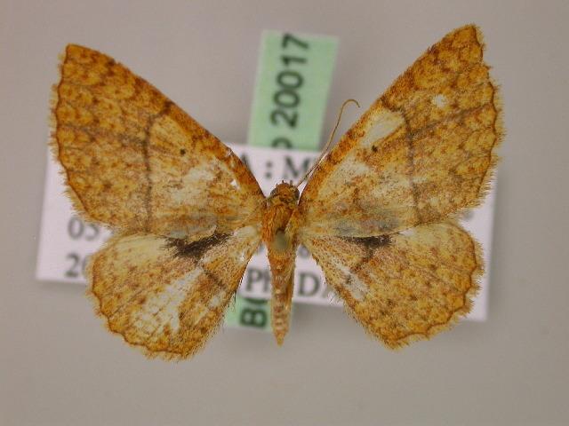 Image of Asthenotricha