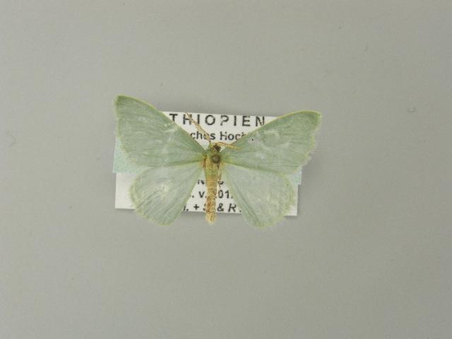 Image of <i>Prasinocyma tranquilla</i> Prout 1917