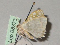 Image of <i>Berta chrysolineata</i> Walker 1863
