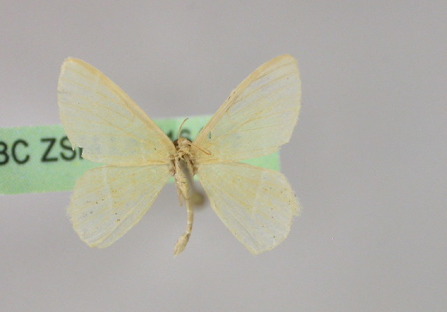 Image of Idiochlora