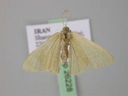 Image of <i>Chlorissa pretiosaria</i> Staudinger 1877