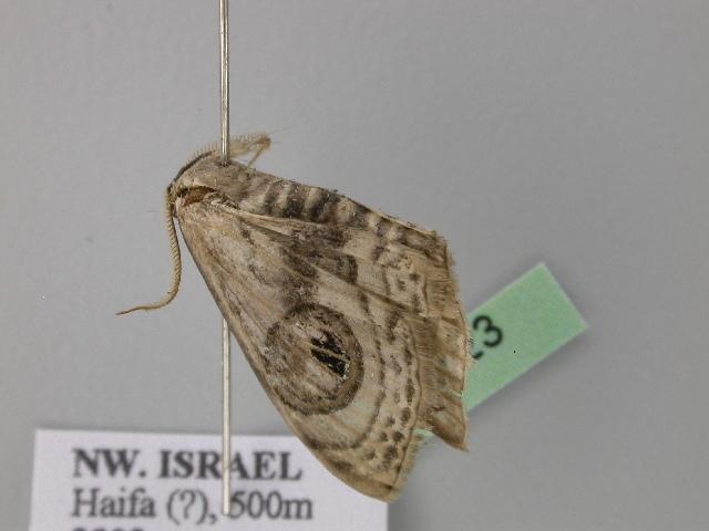 Image of <i>Problepsis <i>ocellata</i></i> ssp. ocellata