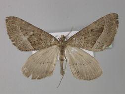 Image of Parortholitha
