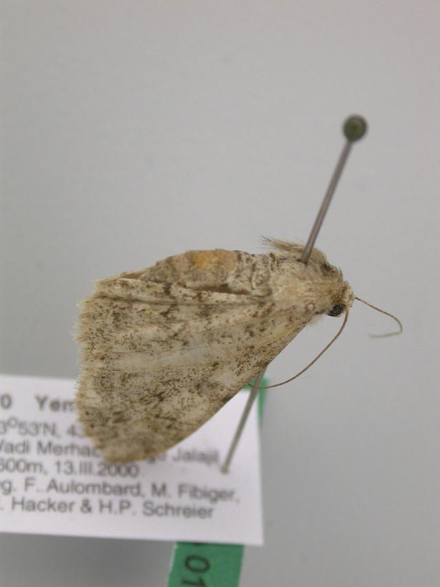Image of <i>Cleora pavlitzkiae etesiae</i> Fletcher 1967