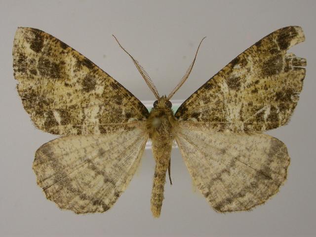 Image of <i>Arichanna furcifera</i> Moore 1888