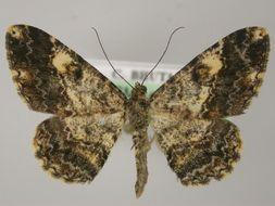 Image of Alcis
