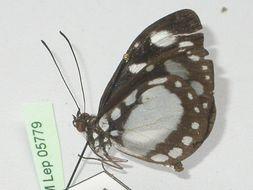 Image of <i>Tellervo zoilus</i> Fabricius 1775