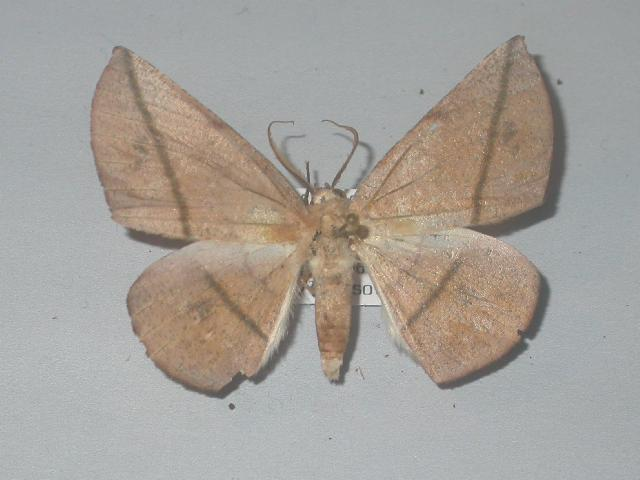 Image of <i>Sarcinodes holzi</i> Pagenstecher 1884