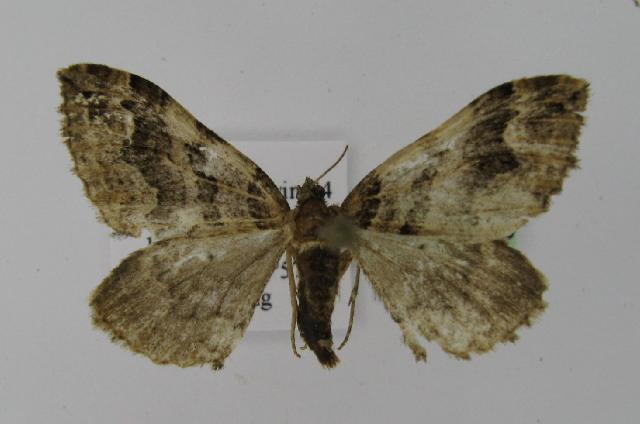 Image of <i>Pelurga taczanowskiaria</i>