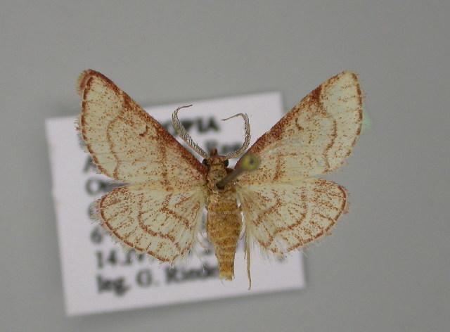 Image of <i>Paraglossa glaucalis</i>