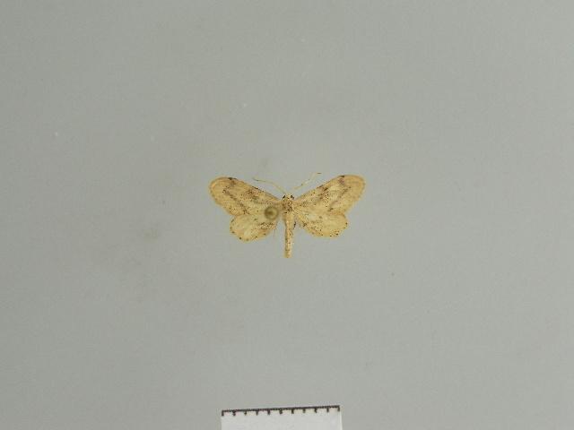 Image of Zygophyxia