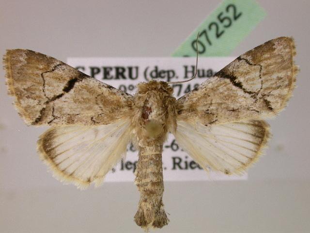 Image of Stictothripa