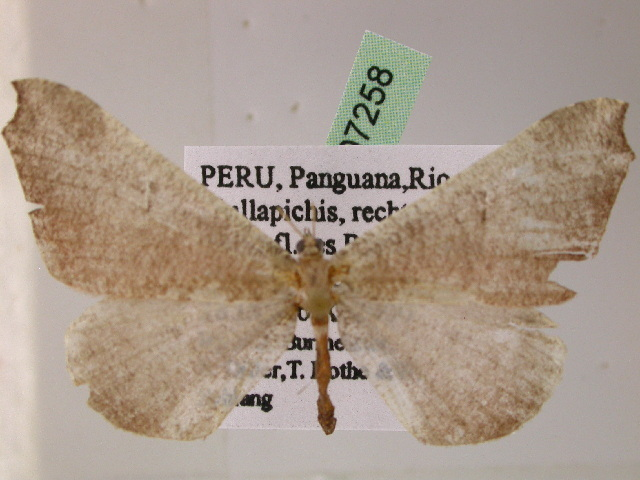 Image of Macrosoma