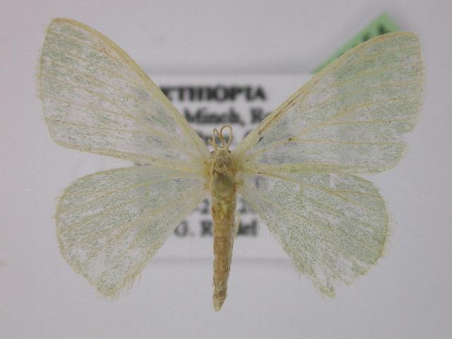 Image of Androzeugma