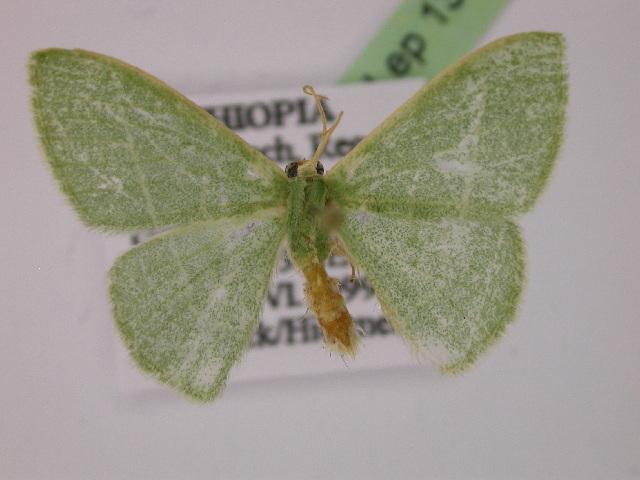 Image of <i>Androzeugma rectilinea</i>