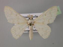 Image of <i>Gnophosema leucites</i> Wiltshire 1980