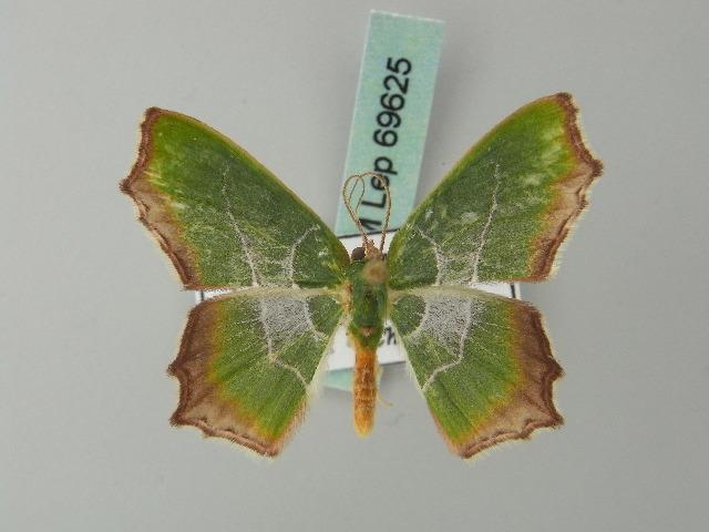 Image of Poecilochlora