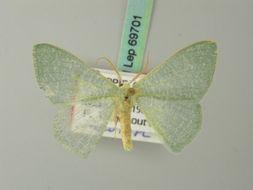 Image of <i>Prasinocyma shoa</i> Herbulot 1993