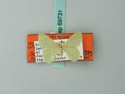 Image of <i>Idiochlora schreieri</i>