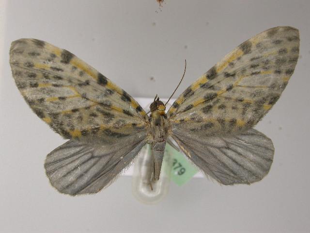 Image of Graphidipus