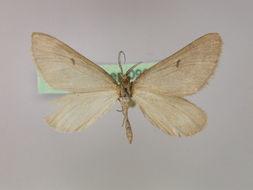 Image of Pseudolarentia