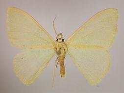 Image of <i>Prasinocyma nereis</i> Townsend 1952