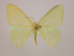 Image of <i>Prasinocyma germinaria</i> Guenée 1857