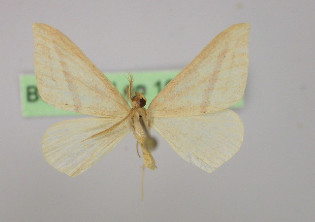 Image of <i>Chlorerythra rubriplaga</i> Warren 1895
