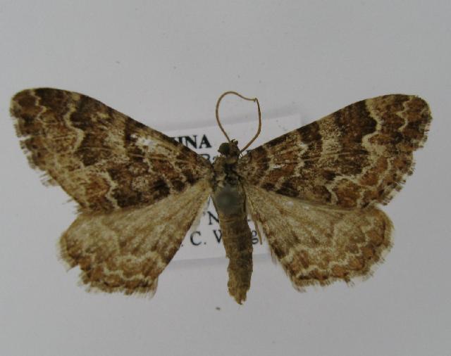 Image of <i>Juxtephria consentaria</i> Freyer 1846