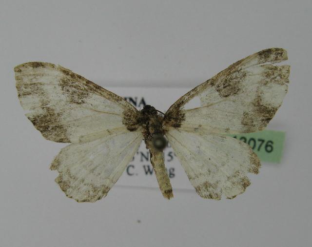 Image of <i>Melanthia procellata inquinata</i> Butler