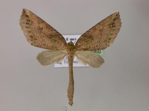 Image of <i>Triptiloides krahmeri</i> Parra 1991