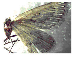 Image of <i>Myinodes interpunctaria</i> Herrich-Schäffer 1839
