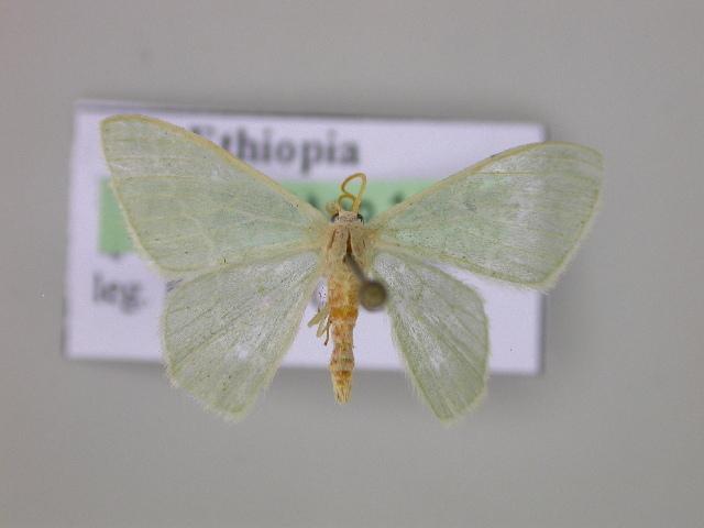 Image of <i>Androzeugma tenuis</i> Warren 1898