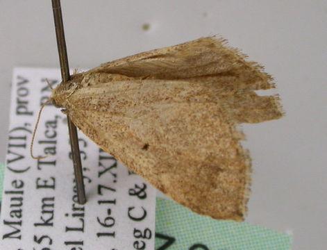 Image of Triptiloides